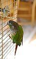 Pyrrhura molinae -bird cage-6a-2cr.jpg