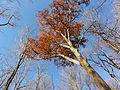 Quercus rubra SCA-05396.jpg