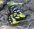 RN006 Delias belladonna.jpg