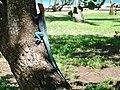 Rainbow Agama (Agama agama) (6161266737).jpg