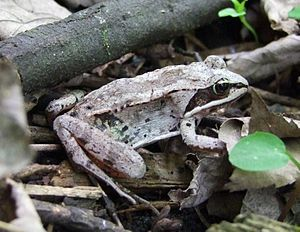 Wood frog - Lithobates sylvaticus found in southern Quebec