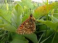 Randring-Perlmutterfalter (Proclossiana eunomia), Deiffelt, Ostbelgien (3938442333).jpg