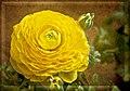 Ranunculus 98.jpg