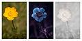Ranunculus bulbosus (Bulbous buttercup) Vis UV IR comparison.jpg