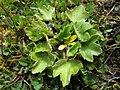 Ranunculus foliosus by John Barkla.jpg