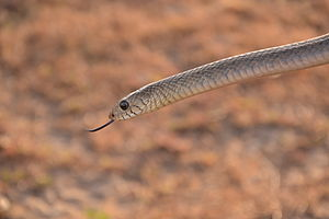 Ptyas mucosa - An oriental rat snake found in southern India.
