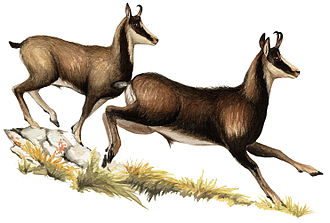 Cantabrian chamois - Figure 2: Male Cantabrian chamois in winter coat (left: in its second year of age; right: adult).