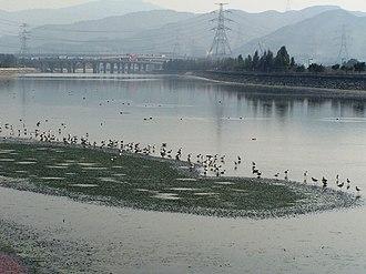 Стая шилоклювок, зимующих в дельте реки Чжуцзян в Гонконге