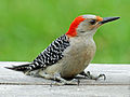 Red-bellied Woodpecker female RWD4.jpg