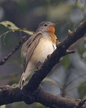 Red-breasted flycatcher (Ficedula parva) - Flickr - Lip Kee.jpg