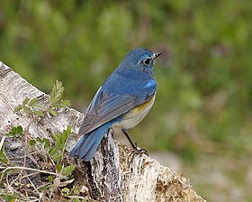 Red-flanked Bluetail male Kyoto - Lip Kee 4.jpg