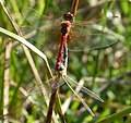 Red-veined Darter. Sympetrum fonscolombii. mating pair - Flickr - gailhampshire (1).jpg