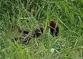 Red Avadavat (Red Munia, Strawberry Finch) (31756137031).jpg