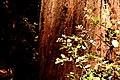 Red Bark (293688005).jpg