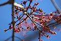 Red Maple (40614362043).jpg