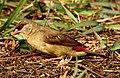 Red Munia Amandava amandava Female by Dr. Raju Kasambe DSCN0832 (3).jpg