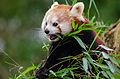 Red Panda (24833120165).jpg