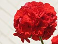 Red geranium in good conditions of growing (head of flowers).jpg