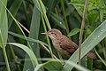 Reed Warbler (27925712511).jpg