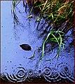 Reeds ^ Rain-drops. Wildlife ^ Wetland Centre, Barnes, W. London. - panoramio.jpg