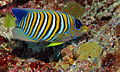 Regal Angelfish (Pygoplites diacanthus) (8481930394).jpg