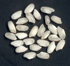 Grains of Arborio rice