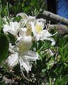 RhododendronOccidentale IMG 3115.JPG