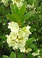 Rhododendron albiflorum.jpg