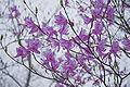 Rhododendron dilatatum 04.jpg