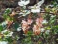 Ribes gordonianum (3).jpg