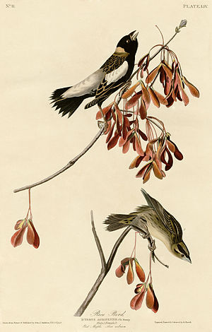 Rice Bird (Audubon).jpg
