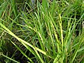 Rice plant with grains.jpg