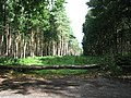 Ride through the pines - but not for riding through - geograph.org.uk - 551265.jpg