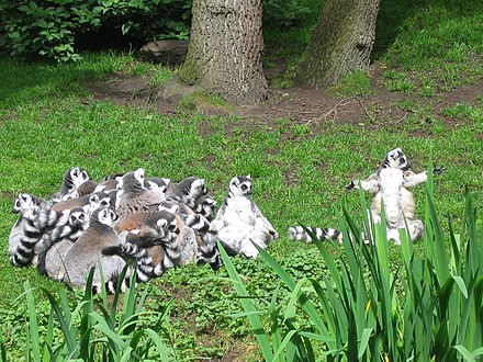 A social huddle of ring-tailed lemurs. The two individuals on the right exposing their white ventral surface are sunning themselves. Ringstaartmakis - Ring-tailed Lemur.jpg