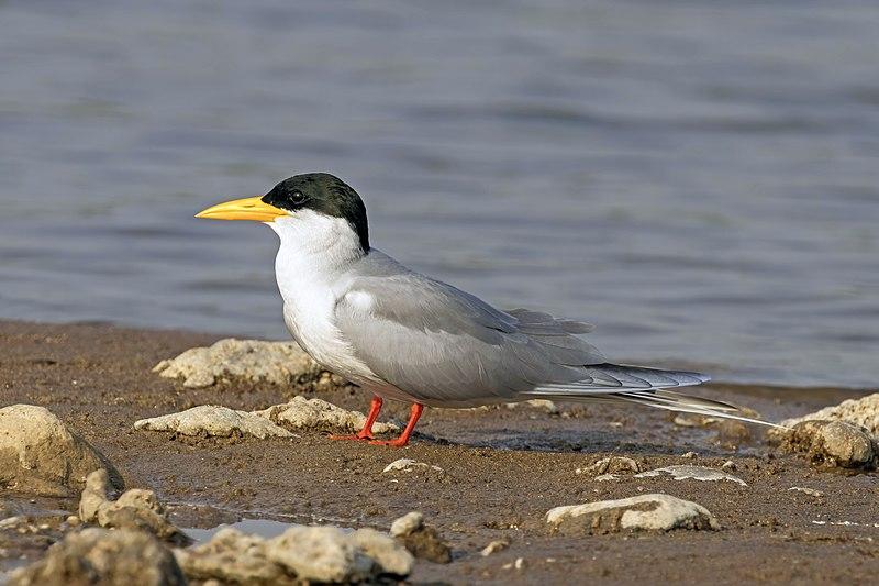 File:River tern (Sterna aurantia).jpg