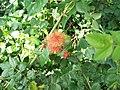 Robins Pin Cushion (Diplolepis rosae) - geograph.org.uk - 887920.jpg