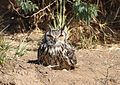 Rock Eagle Owl ( Eagle Owls).jpg