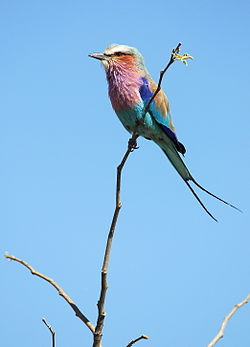 Rollier à poitrine lilas - Lilac-breasted Roller.jpg