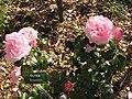 Rosa 'Carole Bouquet' Rennes59.jpg