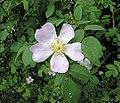 Rosa canina inflorescence (101).jpg