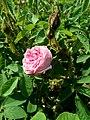 Rosa centifolia var. muscosa 2019-06-04 5452.jpg