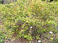 Rosa helenae - University of California Botanical Garden - DSC08901.JPG