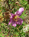 Rosa minutifolia, the Small-leaf Rose. (11348341426).jpg