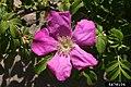 Rosa rugosa inflorescence (32).jpg