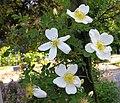 Rosa spinosissima inflorescence (88).jpg