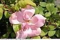 Rosa x Radyod 0zz.jpg