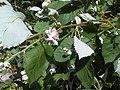 Rosales - Rubus fruticosus - 37.jpg