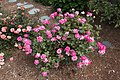 Rose 'Pink -Double -Knockout' IMG 0190.jpg