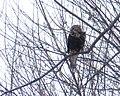 Rough-legged Hawk - CM (32061633072).jpg