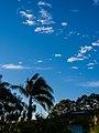 Roystonea regia windblown Copperfield St Geebung P1050106.jpg